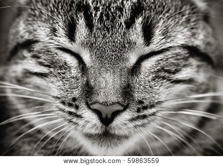 Closeup Of Sleeping Cat Face