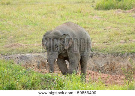 Bull Asian Elephant (elephas Maximus)