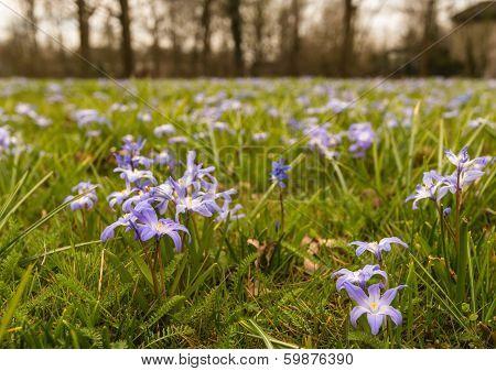 Purple Flowering Scilla Plants Growing Between Grass.