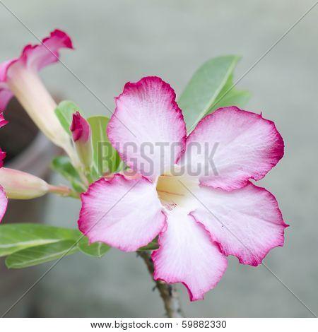 Desert Rose In Nature