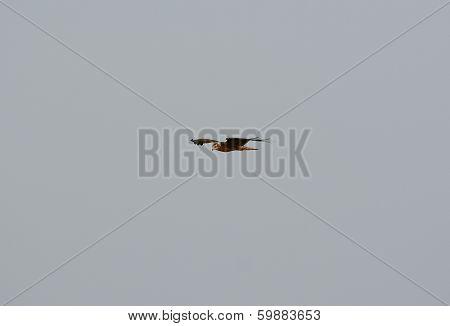 Juvenile Pied Harrier (circus Melanoleucos)