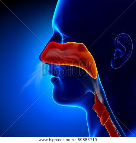 Flu - Full Nose - Human Sinuses Anatomy