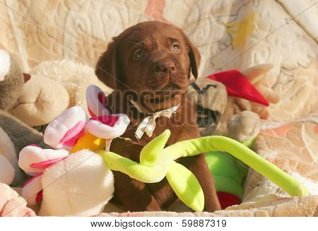 Happy Chocolate Labrador Puppy With Toys