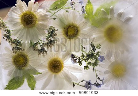 Background Of   Camomile Flower Frozen In Ice