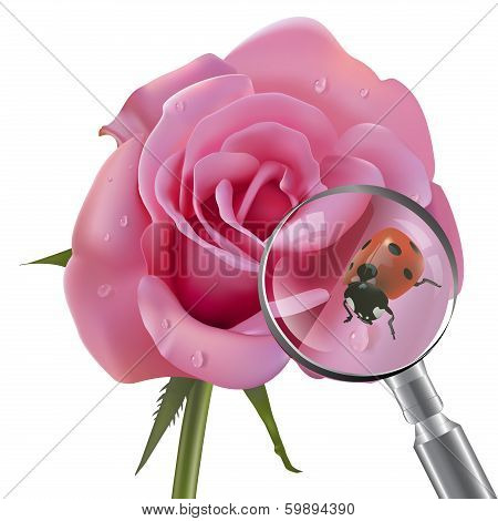 Vector illustration of ladybug who sits on beautiful rose under magnifier
