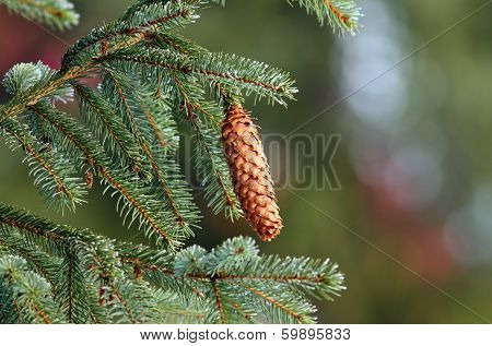 Spruce Cone Up In The Tree