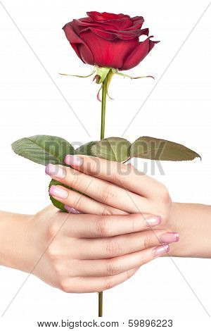 Rose In Gentle Female Hands.