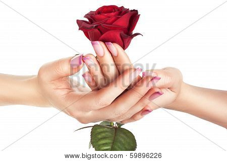 Bud Of A Red Rose In Female Hands.