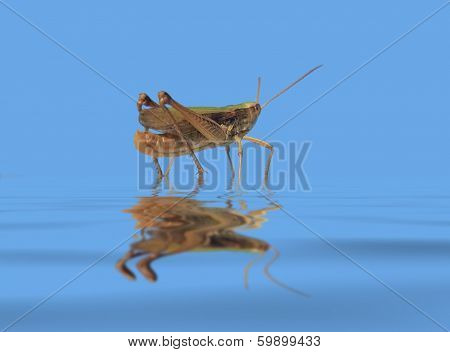 Grasshopper In Blue Wet Ambiance