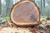 picture of beheading  - stump of tree felled  - JPG