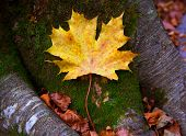 Autum alamo yellow leaf in a beech fall forest in Pyrenees Ordesa Valley spain