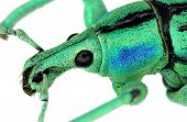 stock photo of diffraction  - Close up of azure weevil Eupholus cuvieri - JPG