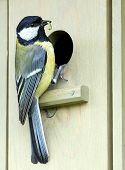 picture of great tit  - Great Tit holding a worm in its beak - JPG