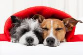 picture of hangover  - couple of loving dogs in bed close together - JPG