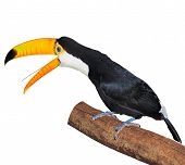 pic of pecker  - Toucan on the tree branch isolated on white background - JPG