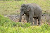 Bull Asian Elephant (elephas Maximus)