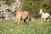 Nice Palomino Mare With Foal Running In Autumn