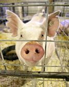 image of pig-breeding  - a pig at a local fair close up shot - JPG