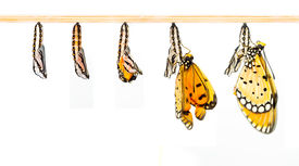 foto of transformation  - Mature cocoon transform to Tawny Coster butterfly - JPG
