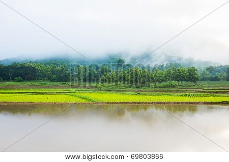 Tree In Rice Field Fog And Mountain