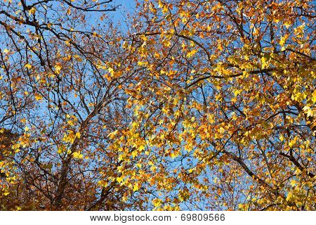 Autumn Treetop