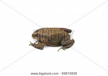 Die Toad With White Background