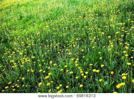 Meadow With Lots Of Blooming Yellow Dandelions