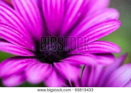Purple Flower Of Osteospermum