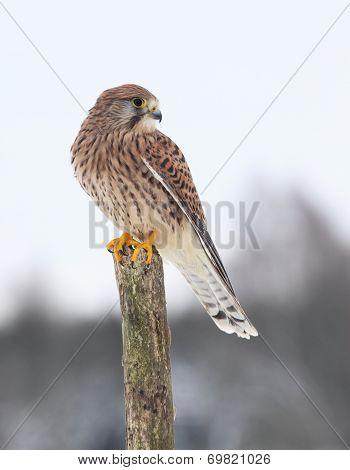 Common Kestrel  In Winter