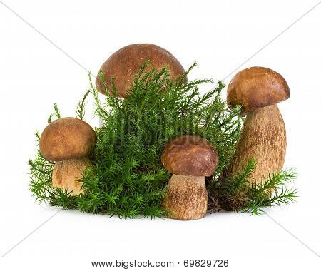 Boletus, Cep Mushroom On Forest Moss Isolated On White Background
