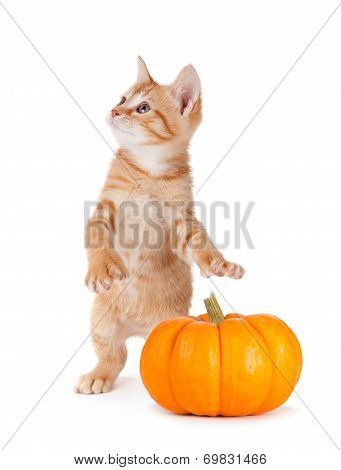Cute Kitten Caught Stealing A Mini Pumpkin On White.