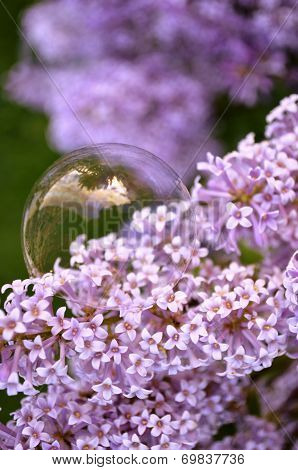 Delicate bubble on French Lilac flowers