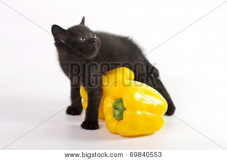 Beautiful Scottish young cat with yellow pepper