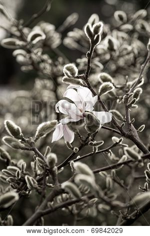 Solitary magnolia flower