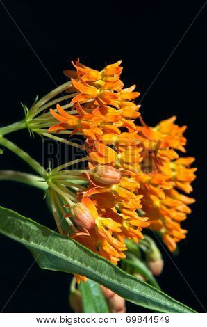 Butterfly Milkweed Against Black