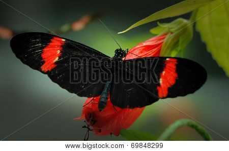 Hecale longwing and Postman butterflies