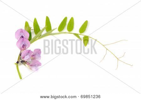 Tufted Vetch Isolated On White Background