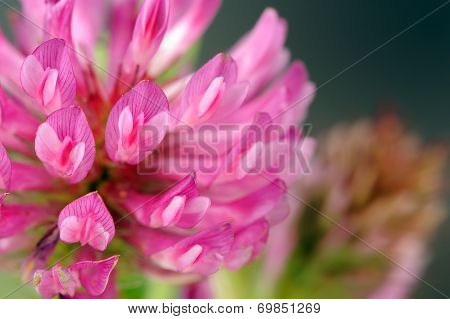 Red Clover Flower Macro