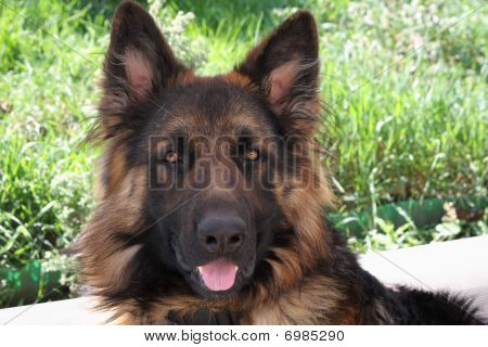 Beautíful German Shepherd