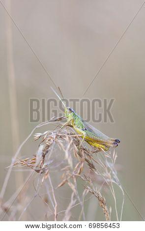 Green Grasshopper Close Up