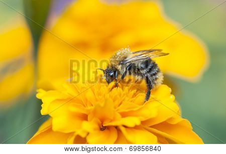 Bee Collect Honey On A Yellow Flower