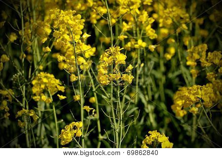 Oilseed Rape In Spring