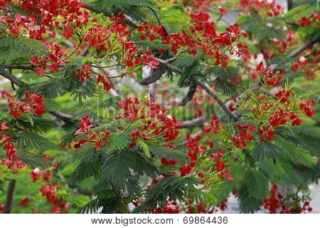 Flamboyant flowers (Royal poinciana , Mohur tree ) in Vietnam