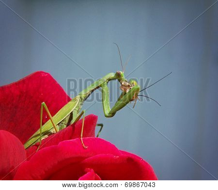 a praying mantis holding onto a red rose petal on a hot summer day