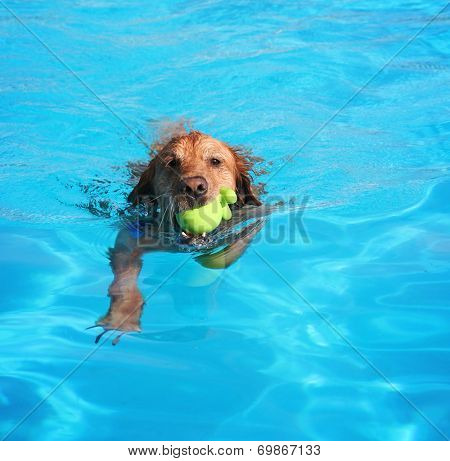 a labrador or golden retriever with a tennis ball swimming in a local public pool