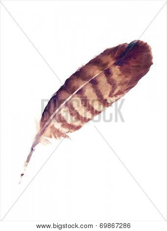 Watercolour painting of a buzzard feather isolated on white.