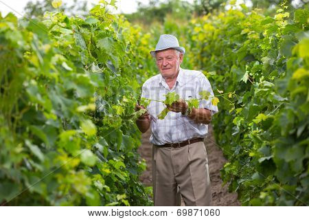 Senior winemaker in vineyard before grape harvest