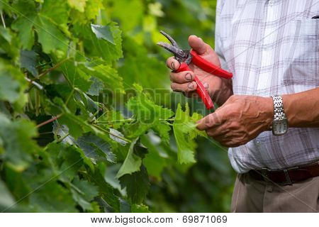 Senior winemaker in vineyard before harvest with scissors