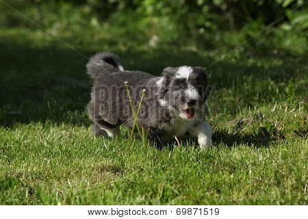 Bearded Collie Running In The Garden
