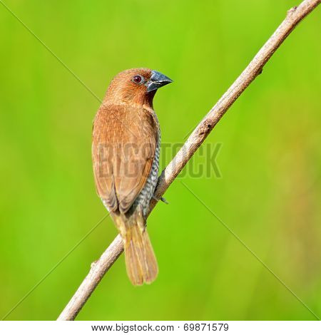 Scally-breasted Munia Bird